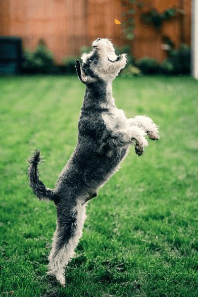Hund, der hopper op efter allergivenlige godbidder, der kastes op i luften.
