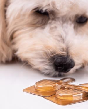 Hund, der kigger på kosttilskud til hunde